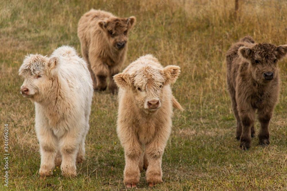 Fototapeta highland cow