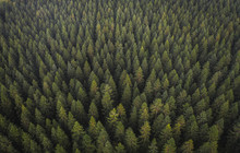 Drone View Of Coniferous Forest