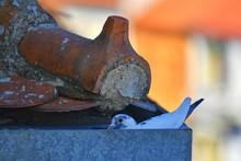 Dove Sitting On Her Nest. Urban Pigeon Sitting In Gutter.