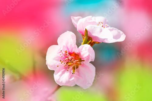 Fototapeta Bright flowers of fruit trees in the spring garden. Beautiful bright spring background. Spring garden obraz na płótnie