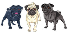 Vector Set Of Cute Dogs Pug Breed Black, Brown And Fawn Color