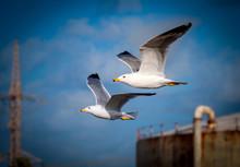 Seagull Couple, Blue Sky