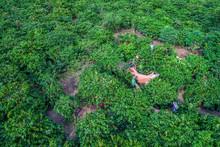 Aerial View Of Farmer Harvest ...