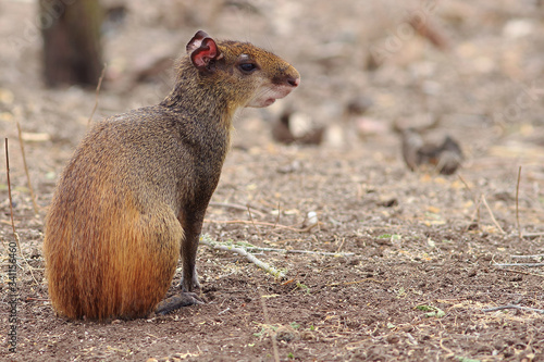 Photo photo of an agouti (Dasyprocta leporina) sitting in the caatinga with negative s