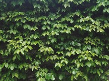 Low Angle View Of Ivy Growing On Tree