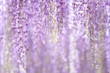 Close-up Of Wisteria Flowers