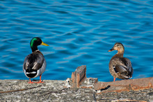 Mallard Duck Pair Looking At E...