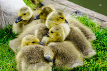 Close-up Of Goslings On Grass