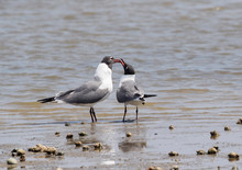The Couple Of Laughing Gulls (...