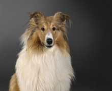 Rough Collie Dog Portrait