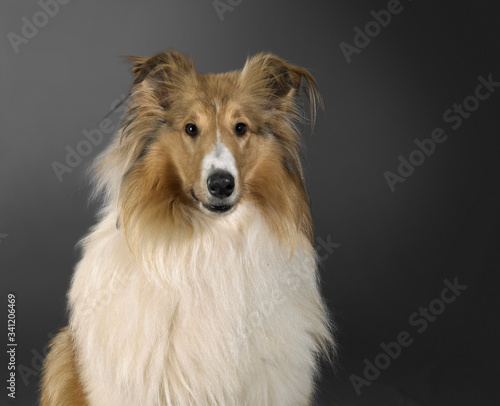 Rough Collie dog portrait Canvas Print