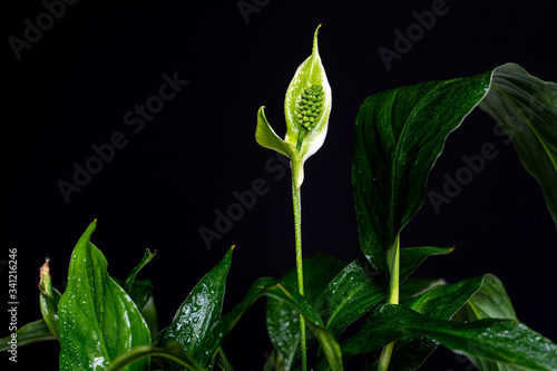 White flower lily spathiphyllum houseplant in green leaves Canvas Print