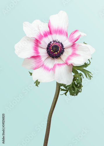 Blooming pink anemone flower Canvas Print