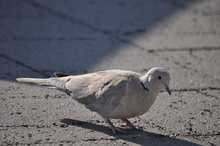 Close-up Of Mourning Dove On F...