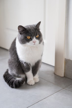 British Shorthair Cat Sitting On The Floor