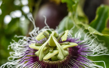 Passion Fruit Flower In Full Bloom And Ripe Passion Fruit On The Vine