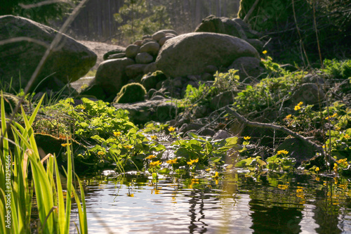 Canvas Print Marsh Marigold, Caltha Palustris blooming in naturalistic garden in forest in spring