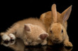 A Beautiful Orange cat kitten and orange-brown cute rabbit funny positions. Animal portrait isolated on black background.