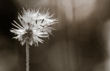 Dandelion Seed Head Flower