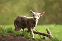 New Born Baby Lamb In The Field