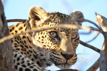 Close Up Of Leopard Looking Al...