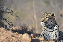 Leopard Relaxing While Lying D...