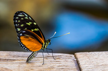 Beautiful Tiger Longwing Butterfly In Macro Closeup, Colorful Tropical Insect Specie From Mexico And Peru