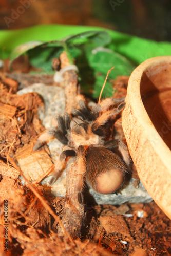 Usambara Orange Baboon Tarantula  (Pterinochilus murinus) in terrarium Canvas Print