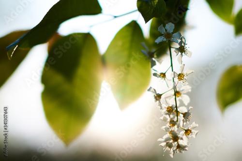 Kwitnący dziki leśny bez w promieniach wiosennego zachodzącego słońca - fototapety na wymiar