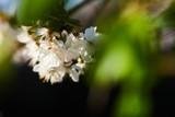 Kwiaty dzikiej wiśni w promieniach zachodzącego słońca