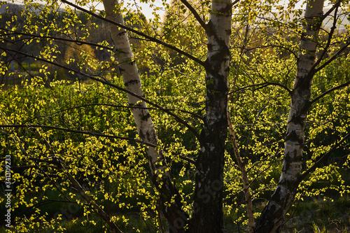 Prześwitujące promienie słońca przez gałęzie i liście brzozy - 341309233