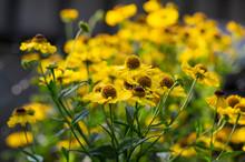 Helenium Autumnale Common Snee...