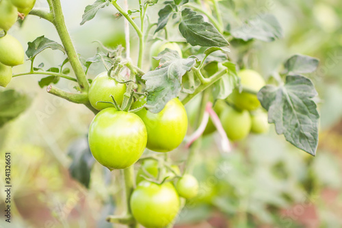 Ripe and unripe organic tomatoes growing in greenhouse Wallpaper Mural