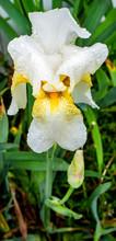 Blooming Bearded White Iris Wi...