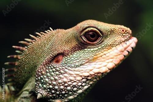 Photo Chinese Green Water Dragon