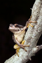 Gray European Tree Frog / Rotg...
