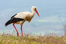 A Selective Focus Shot Of A White Stork, Ciconia Ciconia, Grazing In A Grassy Field.