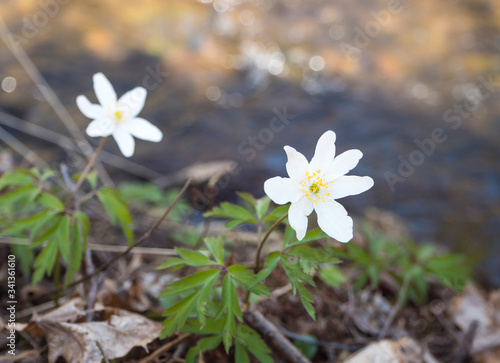Photo close up beautiful white wood anemone flower, Anemone nemorosa, selective focus on defocused shore of forest brook