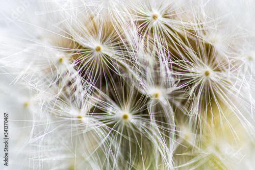 Stampa su Tela tarassaco 01 - semi di tarassaco in primo piano con effetto diffrazione della lu