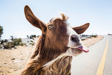 Oman, Portrait Of Goat Sticking Out Tongue At Camera