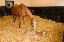 Female Horse Mare With A 1 Day Old Foal In A Large Stable With Lots Of Fresh Straw Bedding
