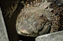 Closeup Crocodiles Are Sunbath...