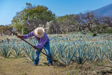 Worker In Blue Agave Field In ...