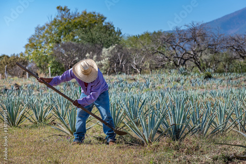 Photo Worker in blue agave field in Tequila, Jalisco, Mexico