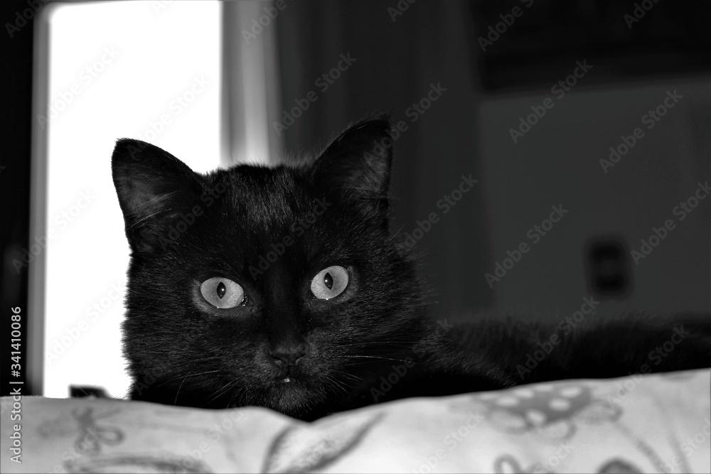 Fototapeta gatto, nero, occhi, sguardo, felino, bella