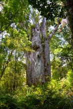 Giant Tree Kauri. Waipoua Kauri Forest.   Nature Parks Of New Zeland.