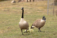 Family Of Canada Geese