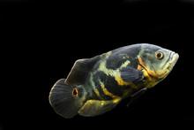 Aquarium Fish. Cichlid Astronotus, Or Oscar. Freshwater Fish. Astronotus Tigris. The Bright Oscar Fish Is A South American Freshwater Fish From The Cichlid Family.