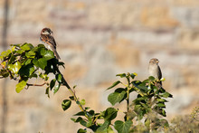 A Pair Of Sparrows Perched In A Tree Against A Soft Focus Stone Wall