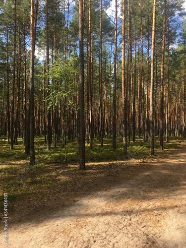 bory, drzew, charakter, sosna, krajobraz, drewna, zieleń, jesienią, lato, park, Canvas